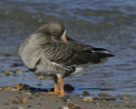 A Greater White-fronted Goose preens on shore.  822 drive 8
