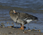 A Greater White-fronted Goose preens on shore.  828 drive 8
