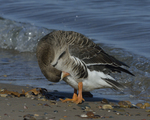 A Greater White-fronted Goose preens on shore.  832 drive 8
