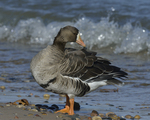 A Greater White-fronted Goose preens on shore.  835 drive 8
