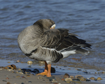 A Greater White-fronted Goose preens on shore.  836 drive 8