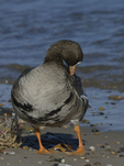 A Greater White-fronted Goose preens on shore.  852 drive 8