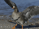 A Greater White-fronted Goose flaps on shore.  854 drive 8