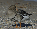 A Greater White-fronted Goose preens on shore.  862 drive 8