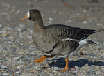 A Greater White-fronted Goose walks on shore.  864 drive 8
