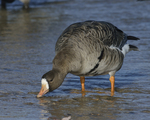 A Greater White-fronted Goose takes a drink.  869 drive 8