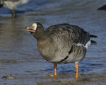 A Greater White-fronted Goose takes a drink.  870 drive 8