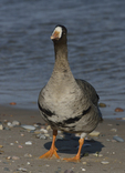 A Greater White-fronted Goose stands on shore.  882 drive 8