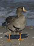 A Greater White-fronted Goose stands on shore.  884 drive 8