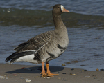 A Greater White-fronted Goose stands on shore.  886 drive 8