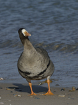 A Greater White-fronted Goose looks up.  888 drive 8