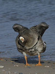 A Greater White-fronted Goose stretches on shore.  889 drive 8