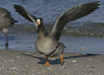 A Greater White-fronted Goose takes off.  893 drive 8