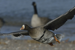 A Greater White-fronted Goose flies by.  898 drive 8