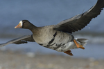 A Greater White-fronted Goose flies by.  899 drive 8