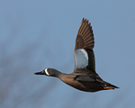 A Blue-winged Teal flies by.  3692 drive 7