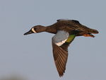 A Blue-winged Teal flies by.  3896 drive 7