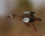 A Blue-winged Teal flies by.  3899 drive 7
