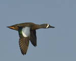 A Blue-winged Teal flies by.  4511 drive 8