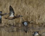 Blue-winged Teals fly by.  4517 drive 8