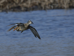 Blue-winged Teals fly in to land.  4593 drive 8