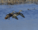 Blue-winged Teals fly in to land.  4594 drive 8