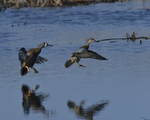 Blue-winged Teals fly in to land.  4595 drive 8
