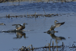 Blue-winged Teals land on a marsh.  4596 drive 8