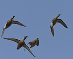 Blue-winged Teals fly over.  4600 drive 8