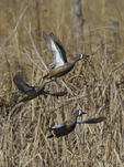 Blue-winged Teals fly up.  4602 drive 8