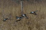 Blue-winged Teals fly by.  4603 drive 8