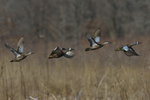 Blue-winged Teals fly by.  4604 drive 8