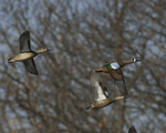 Blue-winged Teals fly by.  4608 drive 8