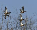 Blue-winged Teals fly by.  4609 drive 8