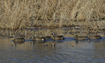 Blue-winged Teals swim along on a marshy river.  4682 drive 8
