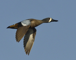 A Blue-winged Teal flies by.  4711 drive 8