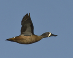 A Blue-winged Teal flies by.  4712 drive 8