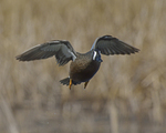 A Blue-winged Teal flies up.  3984 drive 8