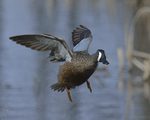 A Blue-winged Teal flies up.  3987 drive 8
