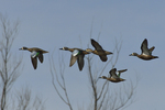 Blue-winged Teals fly by.  3995 drive 8