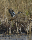 A Blue-winged Teal flies up.  4314 drive 8