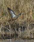 A Blue-winged Teal flies up.  4315 drive 8