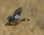 A Blue-winged Teal flies by.  4325 drive 8