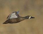 A Blue-winged Teal flies by.  4326 drive 8