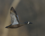 A Blue-winged Teal flies by.  4327 drive 8