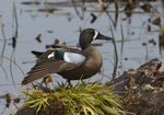 A Blue-winged Teal stretches on a log.  2788 drive 4