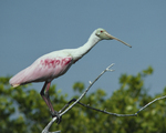A Roseate Spoonbill perches in a tree.  80-3 drive 3
