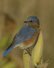 An Eastern Bluebird perches on Common Milkweed.  8184 drive 9