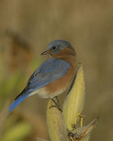 An Eastern Bluebird perches on Common Milkweed.  8185 drive 9