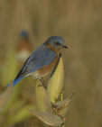 An Eastern Bluebird perches on Common Milkweed.  8186 drive 9